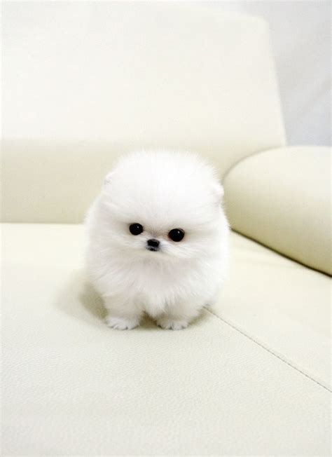 micro teacup white pomeranian precious micro white teacup pomeranian puppies for sale picture memes