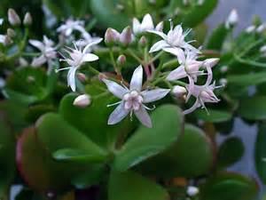 Flowering Jade Plants - gallery for gt crassula argentea jade plant