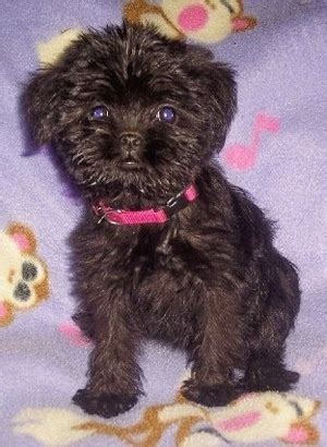 affenpinscher mix puppies for sale gallery for gt affenpinscher mix puppies