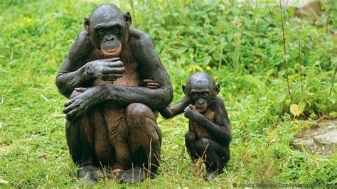 Bonobo Primate   www.imgkid.com - The Image Kid Has It!