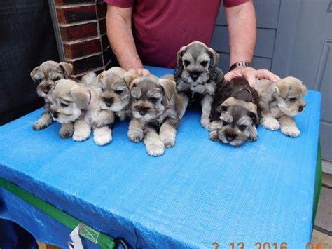 puppies for sale in college station 25 b 228 sta mini schnauzer puppies id 233 erna p 229 dv 228 rgschnauzer