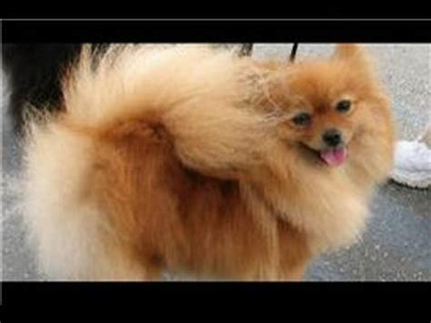 how to groom a pomeranian puppy grooming how to groom a pomeranian