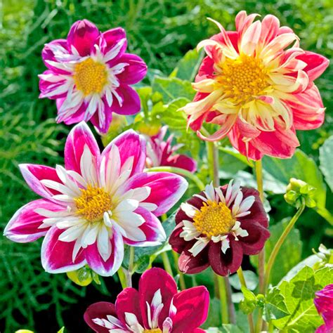 yankee doodle dandy flowers celebrate 2013 with these new flower varieties grower