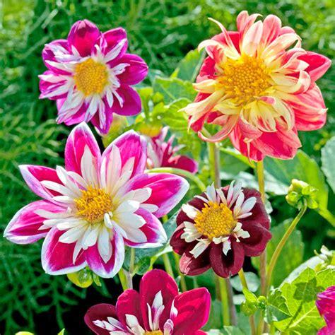yankee doodle dandy flower dahlia seeds yankee doodle dandy