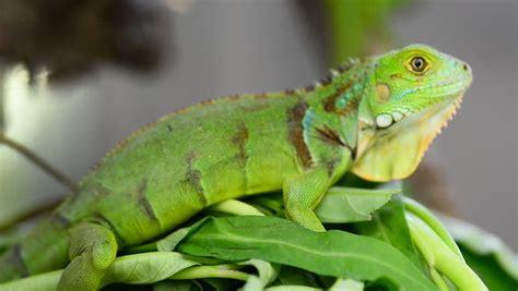 imagenes de iguanas blancas cu 225 l es el mejor alimento para iguanas verdes 161 te lo