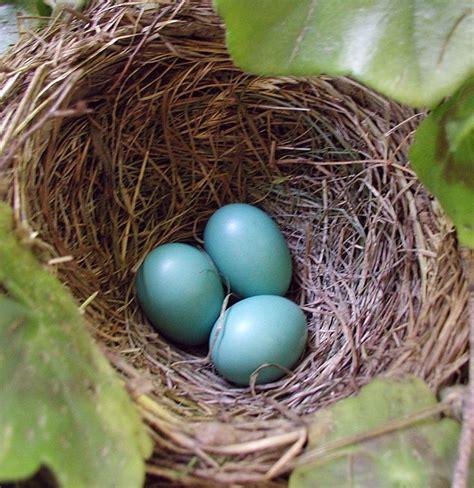 robin s eggs in nest the natural world pinterest