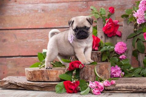 punny pug names pug names and pictures on pugs and pets
