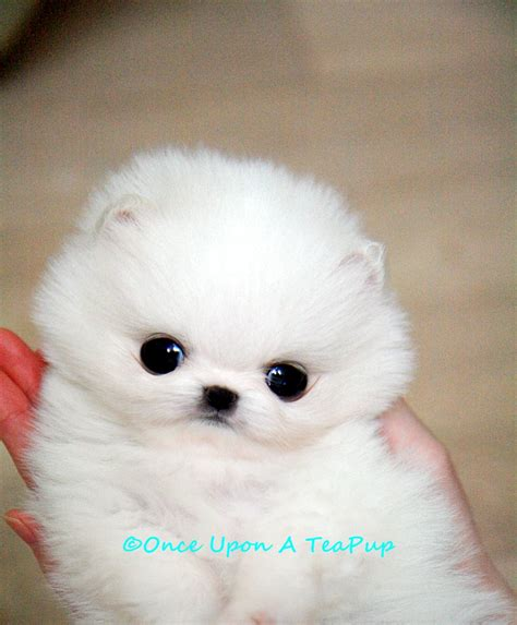 teacup pomeranian images white teacup pomeranian grown up www imgkid the image kid has it