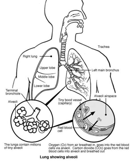 Lungs Diagram Labeled Labelled Of  0 sketch template