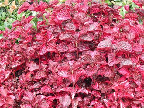 iresine bloodleaf iresine herbstii evergreen growers