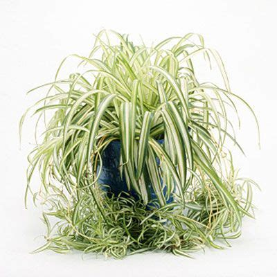 spider plant low light best 25 spider plants ideas on pinterest plants indoor