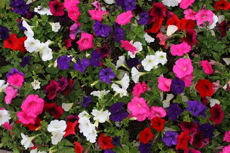 petunia blooms background free stock photo public domain