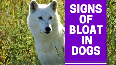bloat in dogs symptoms of a with bloat and how to prevent bloat in dogs