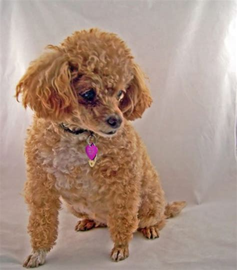 poodle puppy cut how to give a poodle a puppy cut pets