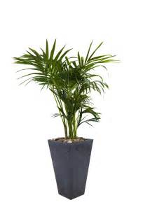 Interior Plant by Howe Fosteriana Indoor Flower