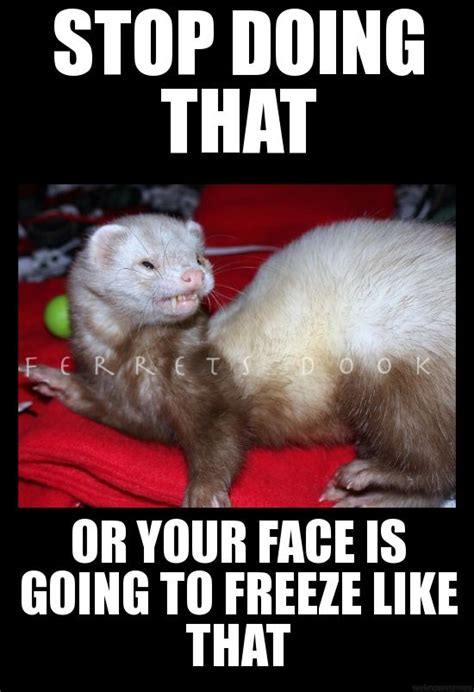 Ferret Meme - 17 best images about i will have one on pinterest the