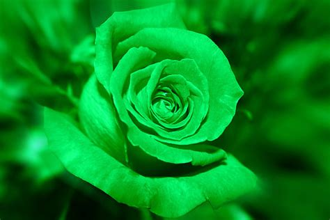 flower wallpaper green rose green rose 120 desktop background hdflowerwallpaper com
