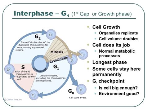 interphase g1 diagram interphase g1 related keywords suggestions interphase