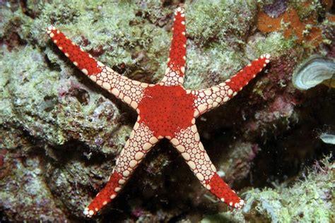 Velly Bintang Laut malaysia kapalai tioman 30 of 33
