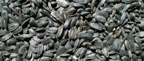 the benefits of black oil sunflower seeds beginning farmers