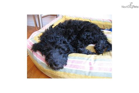 boxer puppies for sale seattle yakima wa boxer dogs for sale yakima wa listings dogs breeds picture
