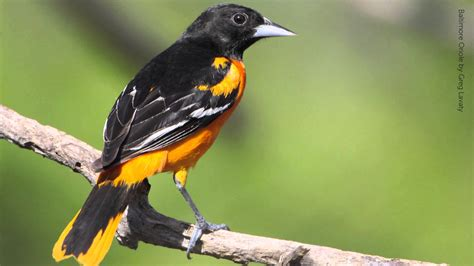 baltimore oriole bird hd wallpaper