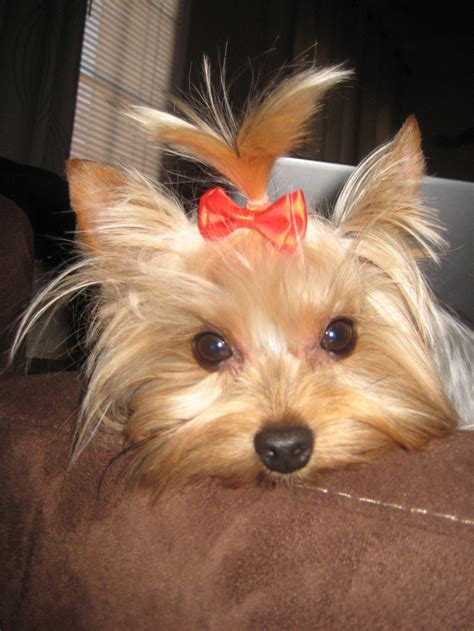 yorkie age 4 lb silky terrier at age 3 silky yorkies