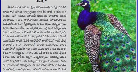 National Bird Of India Essay by Telugu Web World An Article On Indian National Bird Peacock