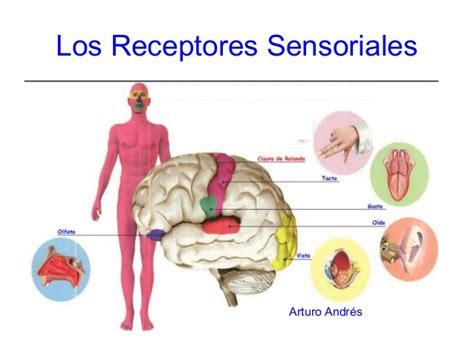 imagenes sensoriales imagenes biologia reseptor sensorial