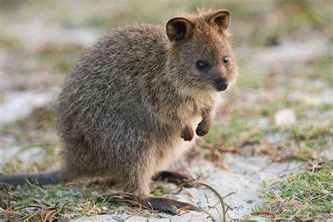 reasons quokkas  australias  adorable animals