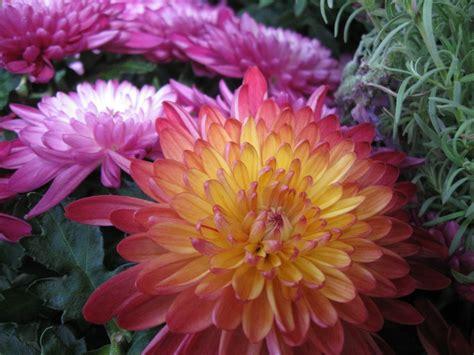 significato fiori margherita crisantemo linguaggio dei fiori