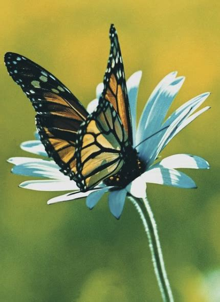 fiori con farfalle tatuaggi farfalle tatuaggi farfalle con fiori tatuaggi