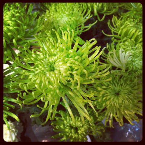 crisantemo fiore il crisantemo