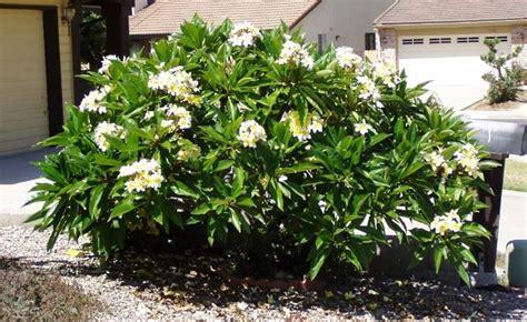 fiore plumeria plumeria frangipane piante da giardino plumeria