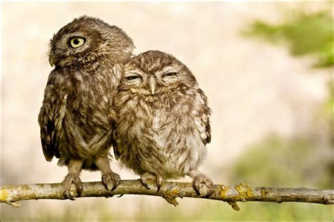 owl lovers funny pictures owls in love