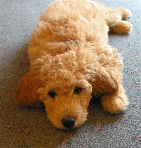 golden retriever knee problems 17 best images about goldendoodles morkies on puppys curly coated