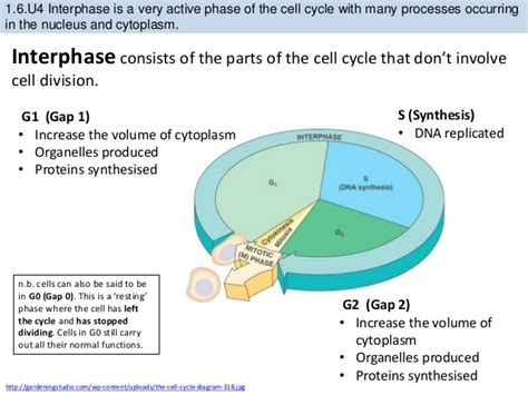 interphase g1 diagram cell in interphase diagram images