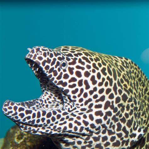 Tropical Home Decorations by Tesselata Eel Gymnothorax Favagineus For Sale Online
