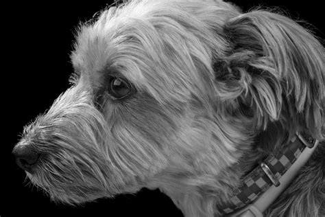 yorkie eye drainage 5 important terrier eye problems you must yorkshireterrierguide