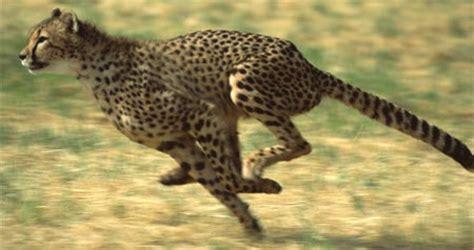 is a jaguar faster than a cheetah cheetahs info and