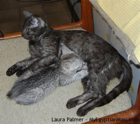 Wintermuse with her mom Mafdet   My Egyptian Mau
