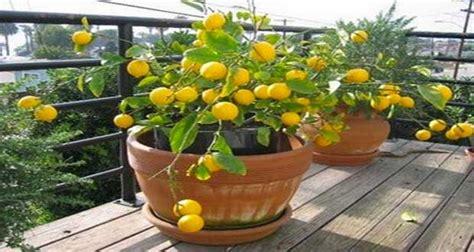 Comment Avoir Des Citrons Sur Un Citronnier citronnier en pot 224 faire pousser 224 partir d un simple p 233 pin