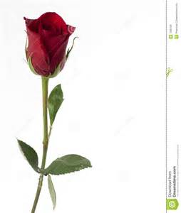 Single Rose Bud Vase Classic Single Red Rose Royalty Free Stock Photos Image