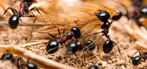 imagenes hormigas negras hormiga c 243 mo se comunican qu 233 comen tipos de hormigas