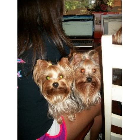 yorkie rescue atlanta ga terrier yorkie for stud in freedoglistings