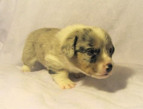 corgi puppies for sale in wisconsin view ad cardigan corgi puppy for sale wisconsin milwaukee usa