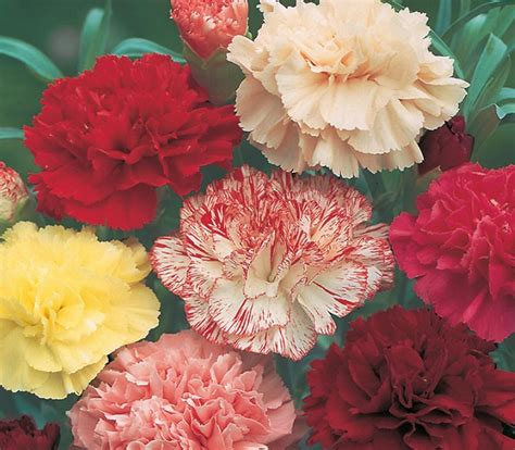 Bibit Bunga Anyelir benih carnation choice mixed 5 biji non retail bibitbunga