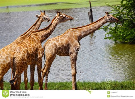 the giraffe that ate group of giraffes eating grass safari stock photography image 32198852