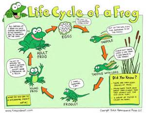 Of a frog printable and teach your students about frog metamorphosis