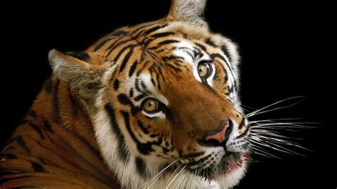 hd wallpaper for android tiger tiger face wallpapers wallpaper cave